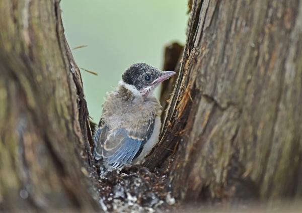 オナガ幼鳥3 DSC_0072