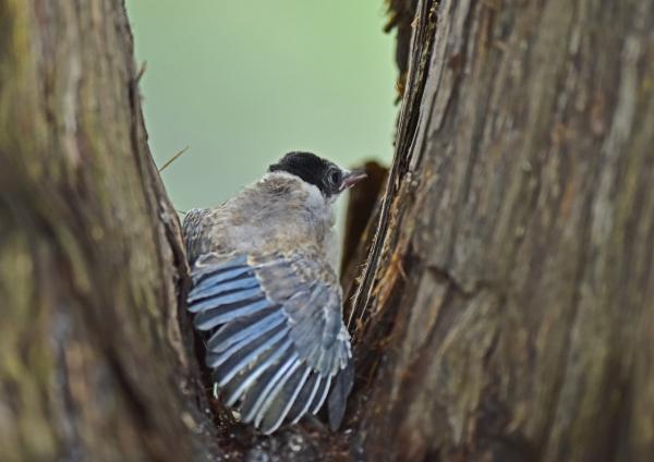オナガ幼鳥4 DSC_0107