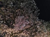 20160406-sakura.jpg