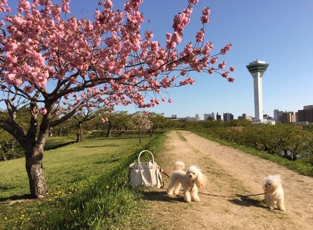 五稜郭公園 お散歩 2016.5.14 2