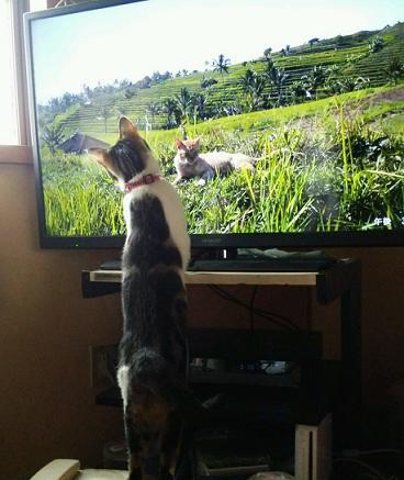 TV見るneko