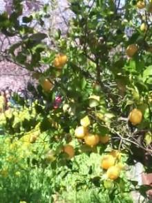 レモンと桜