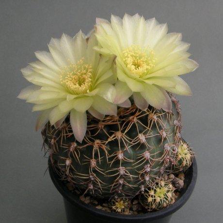 Sany0001--leeanum v netrelianum--Piltz seed 2486