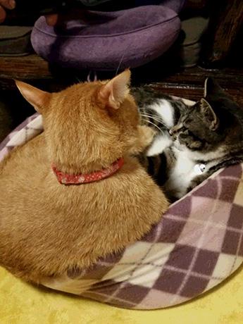 先住猫のとらいちさんともみじ君の猫団子