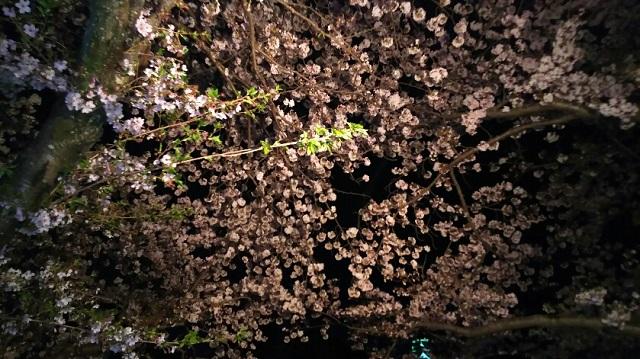 160406 旭川さくらみち 夜桜① ブログ用