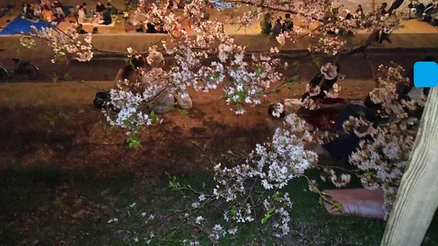 160406 旭川さくらみち 夜桜② ブログ用