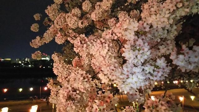 160406 旭川さくらみち 夜桜③ ブログ用