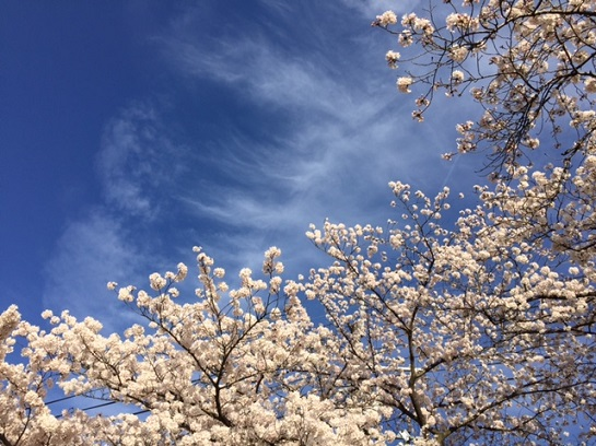 平成28年青空と桜