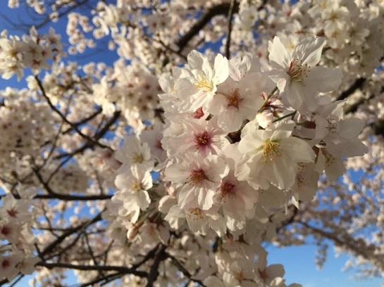 平成28年桜1