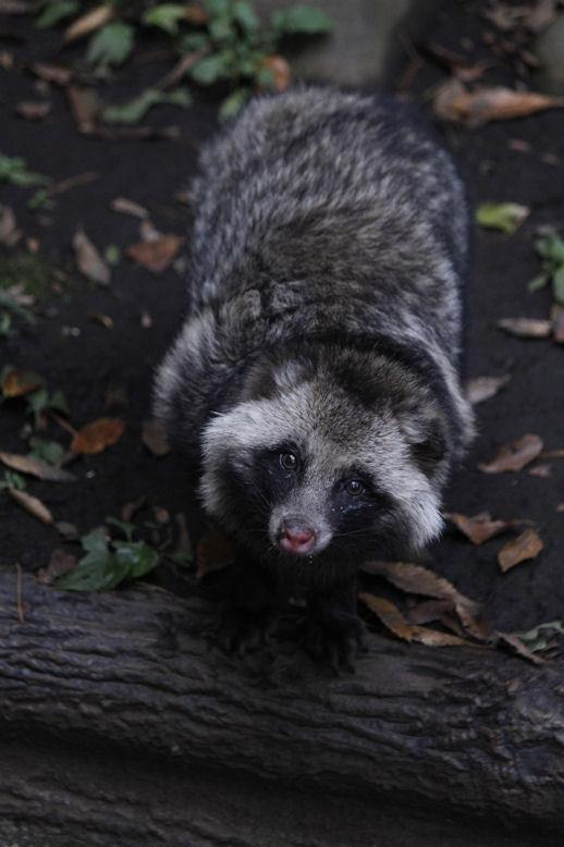 '15.12.3 raccoon dog 0620