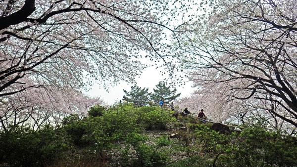 箱根山を包むサクラ