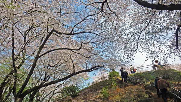 サクラの箱根山を登る