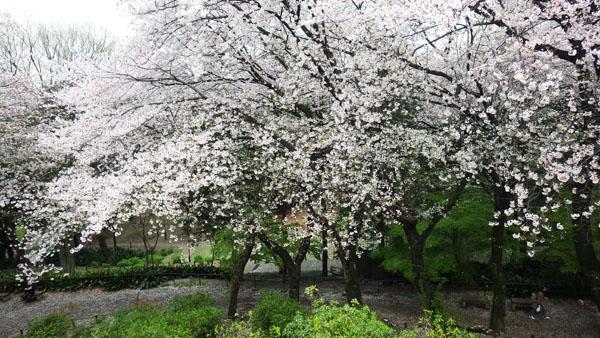 鉾根山頂上から満開の桜