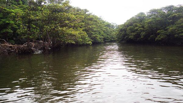 仲間川 マングローブ林