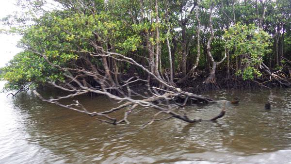 マングローブ林 2