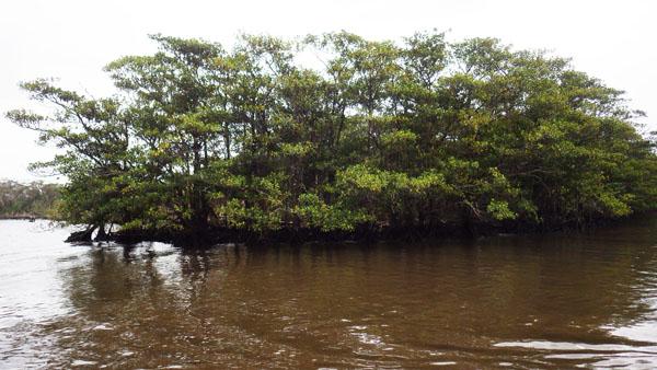 マングローブ 黄色の葉