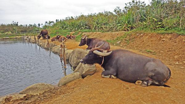 島の水辺で休んでいる水牛たち