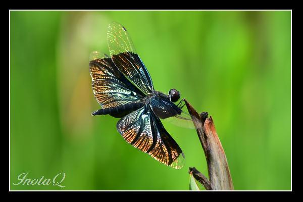 蝶トンボ01
