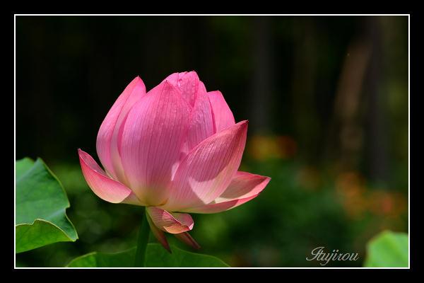 紅蓮の咲くころ