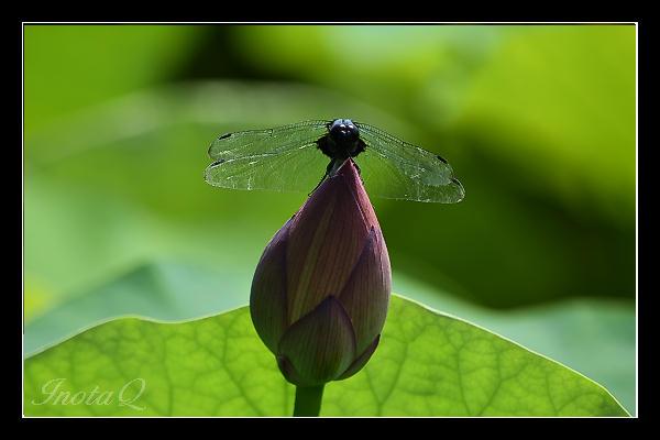 蓮とシオカラトンボ01