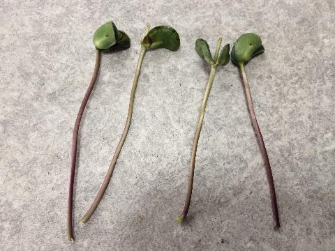 20160529 枝豆⑨