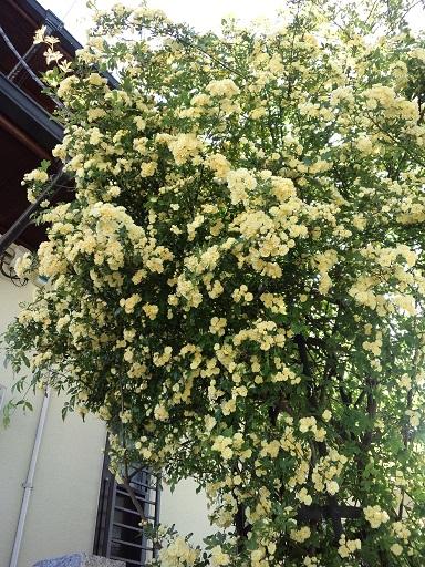 20160421_モッコウ薔薇2
