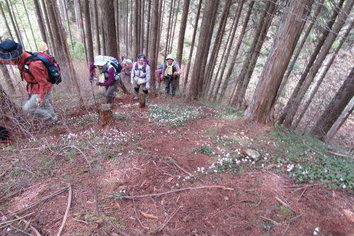 イワウチワ咲く斜面を登る