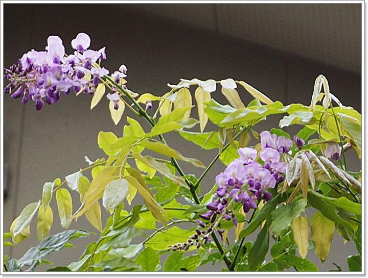 P7082976 フジの花