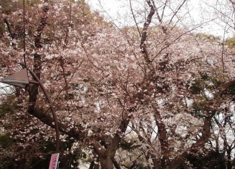 P330008上野桜