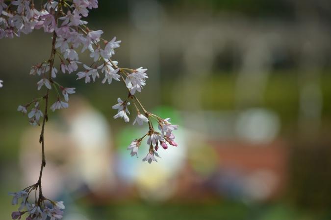 枝垂れ桜4