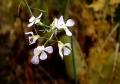 ②ダイコンの花