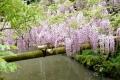 ⑥万葉植物園の川面に咲く野田ふじ