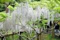 ⑧万葉植物園の白甲比丹ふじ