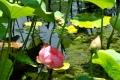 ②日本庭園蓮池の蓮の花と蕾