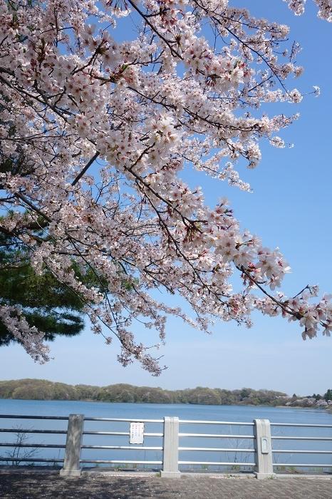 狭山湖さくら2