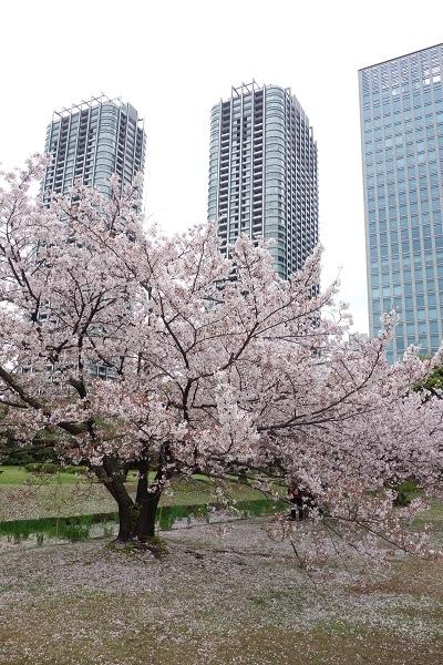 ビルと桜1