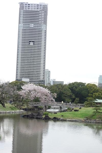 美離うと桜4