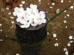 木の上の桜