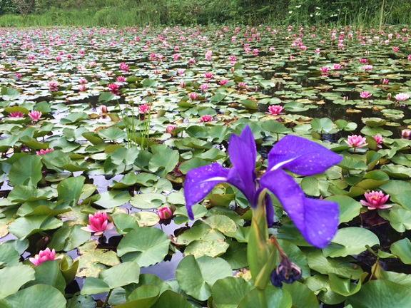 八幡湿原蓮池