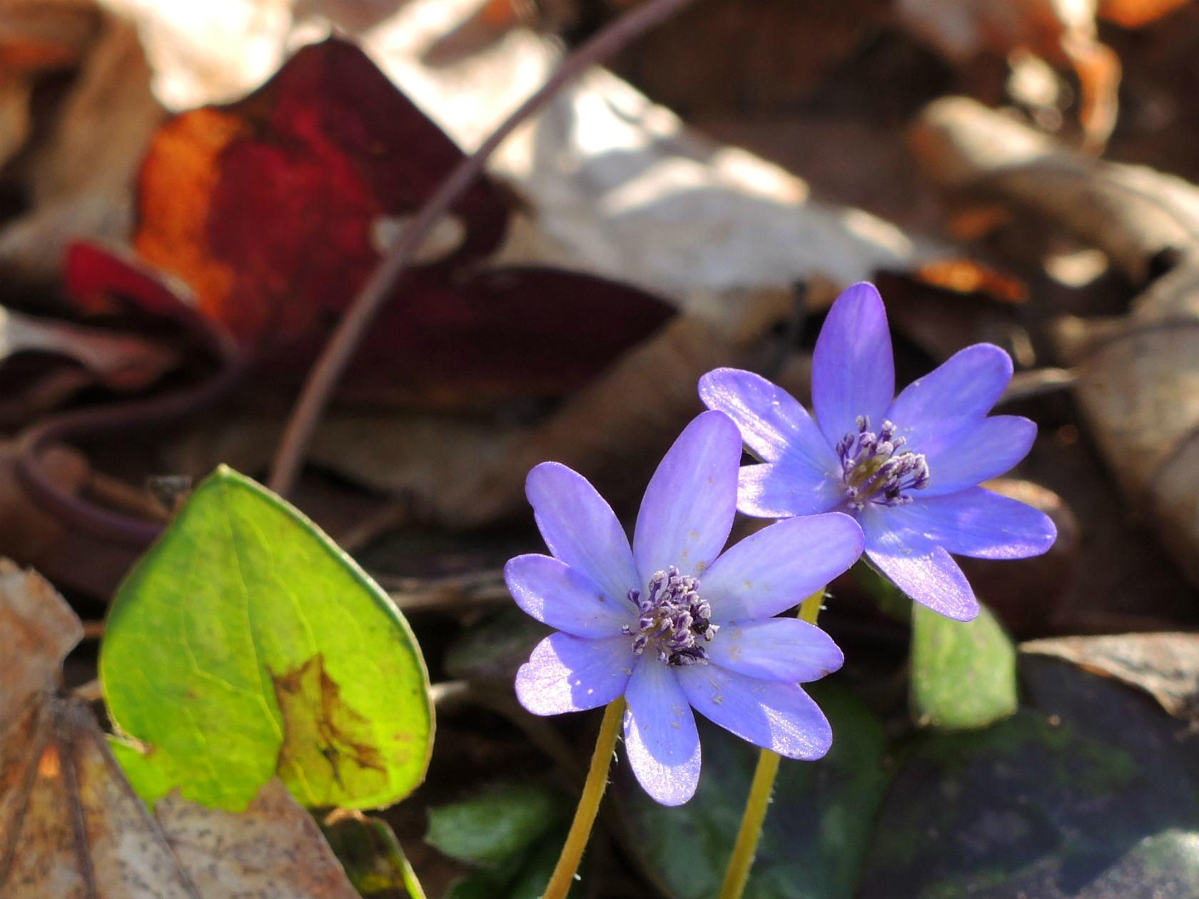 オオミスミソウ 紫の花弁