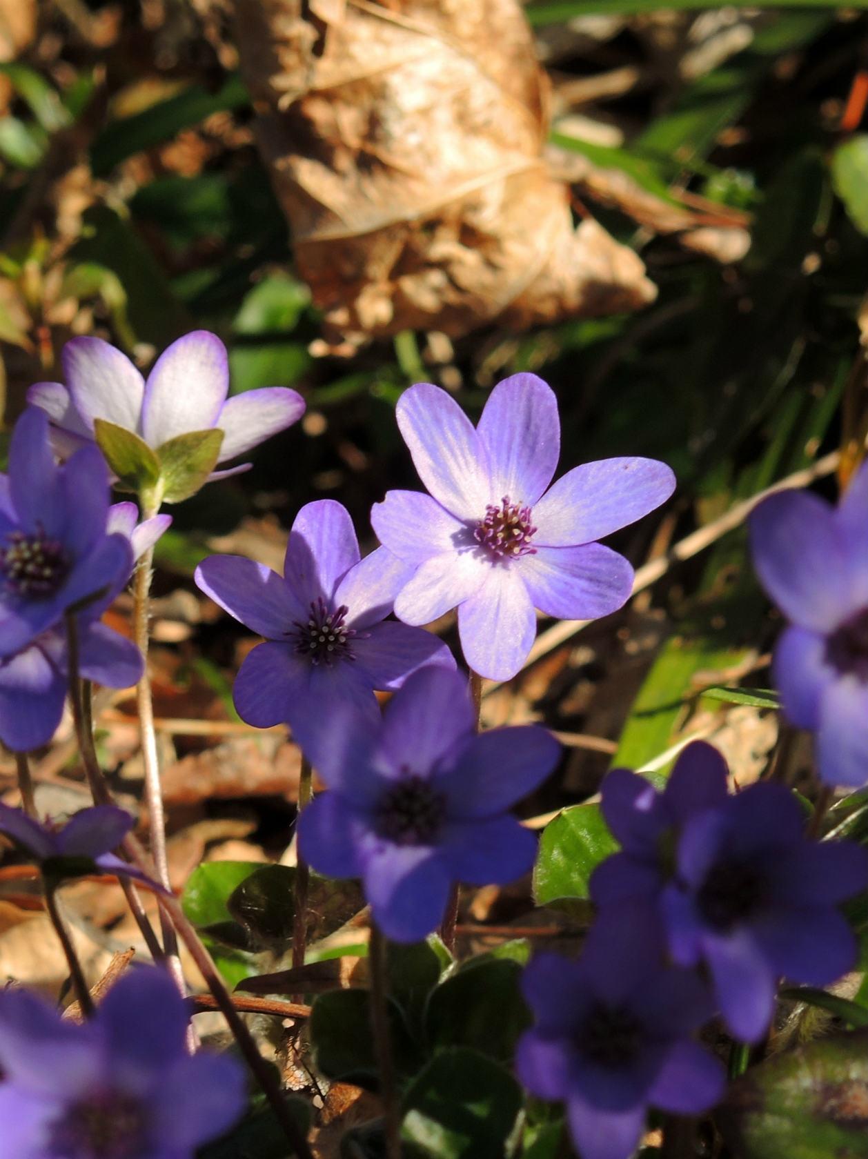 オオミスミソウ 紫の株