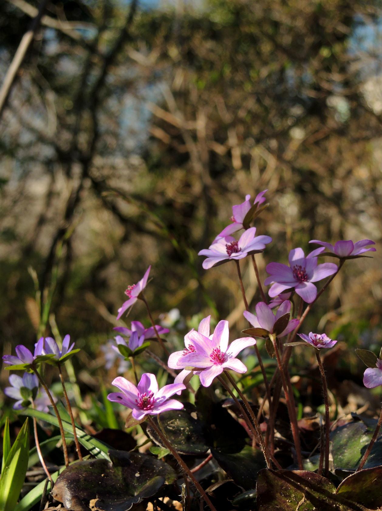 オオミスミソウ 赤紫 (2)