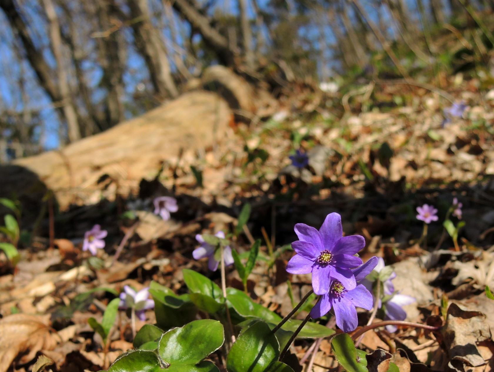 オオミスミソウ 紫 (2)