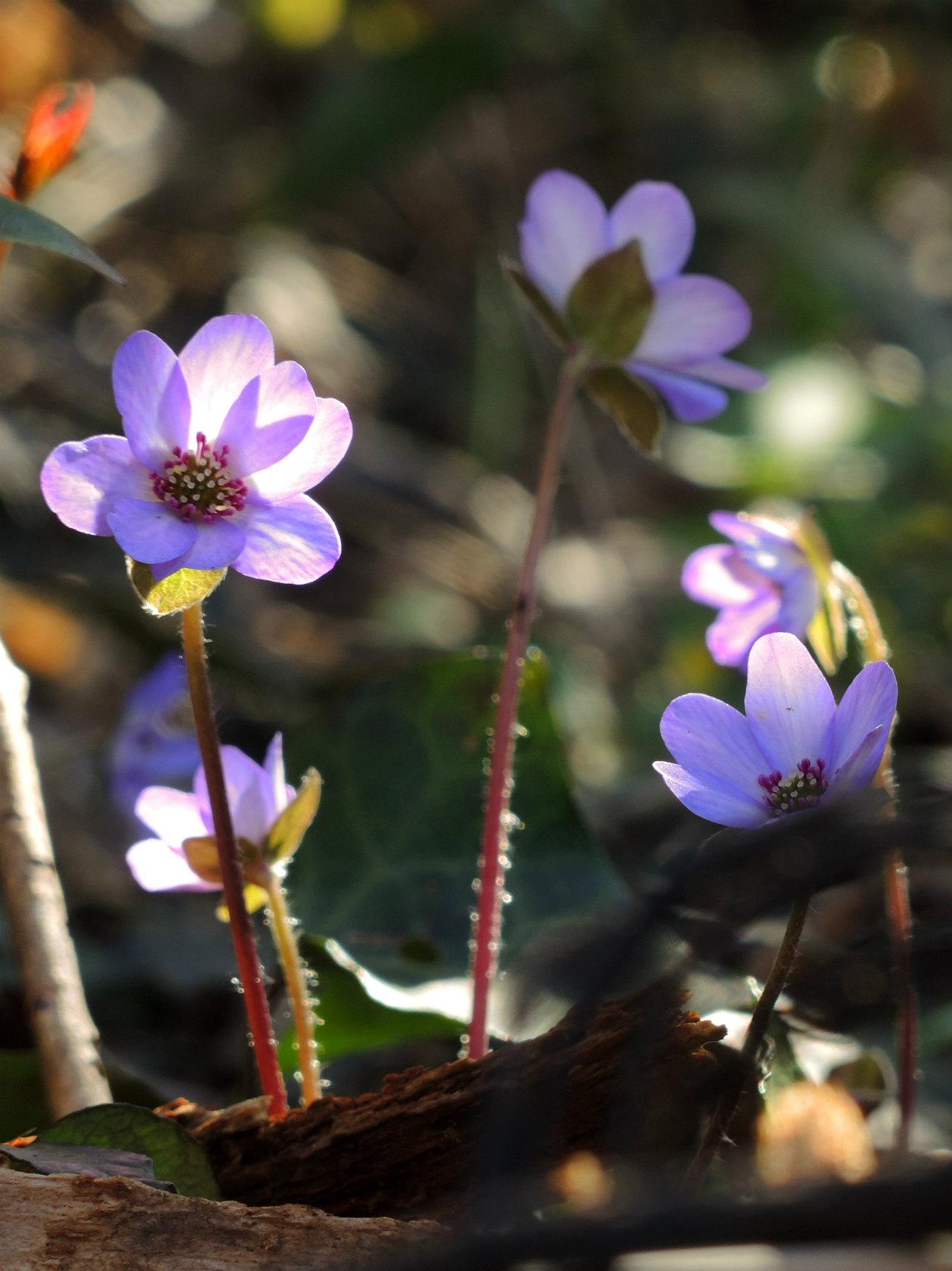 オオミスミソウ 紫