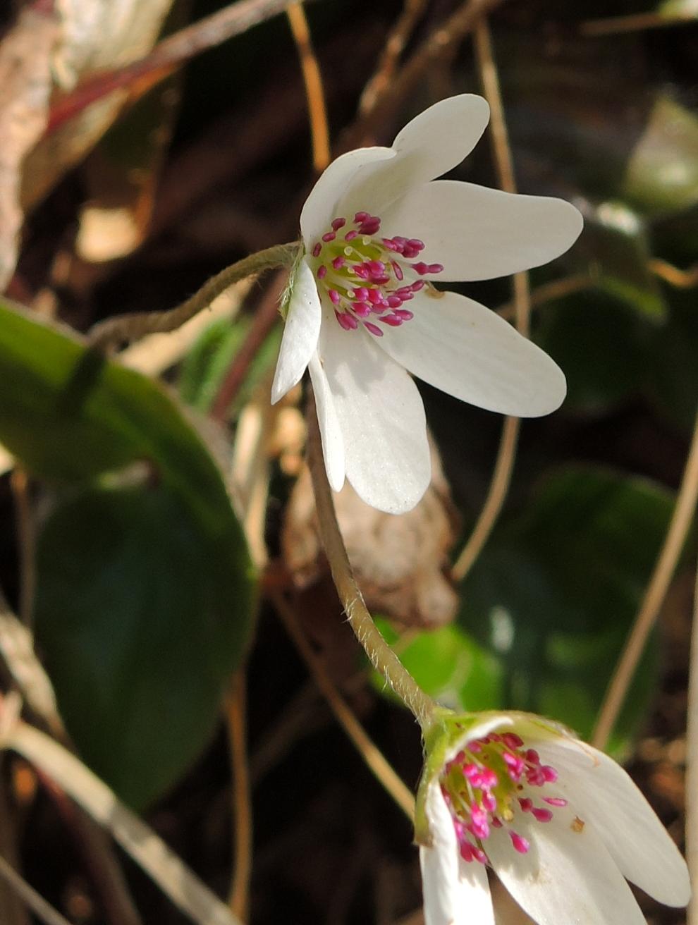 オオミスミソウ 白の花びら1