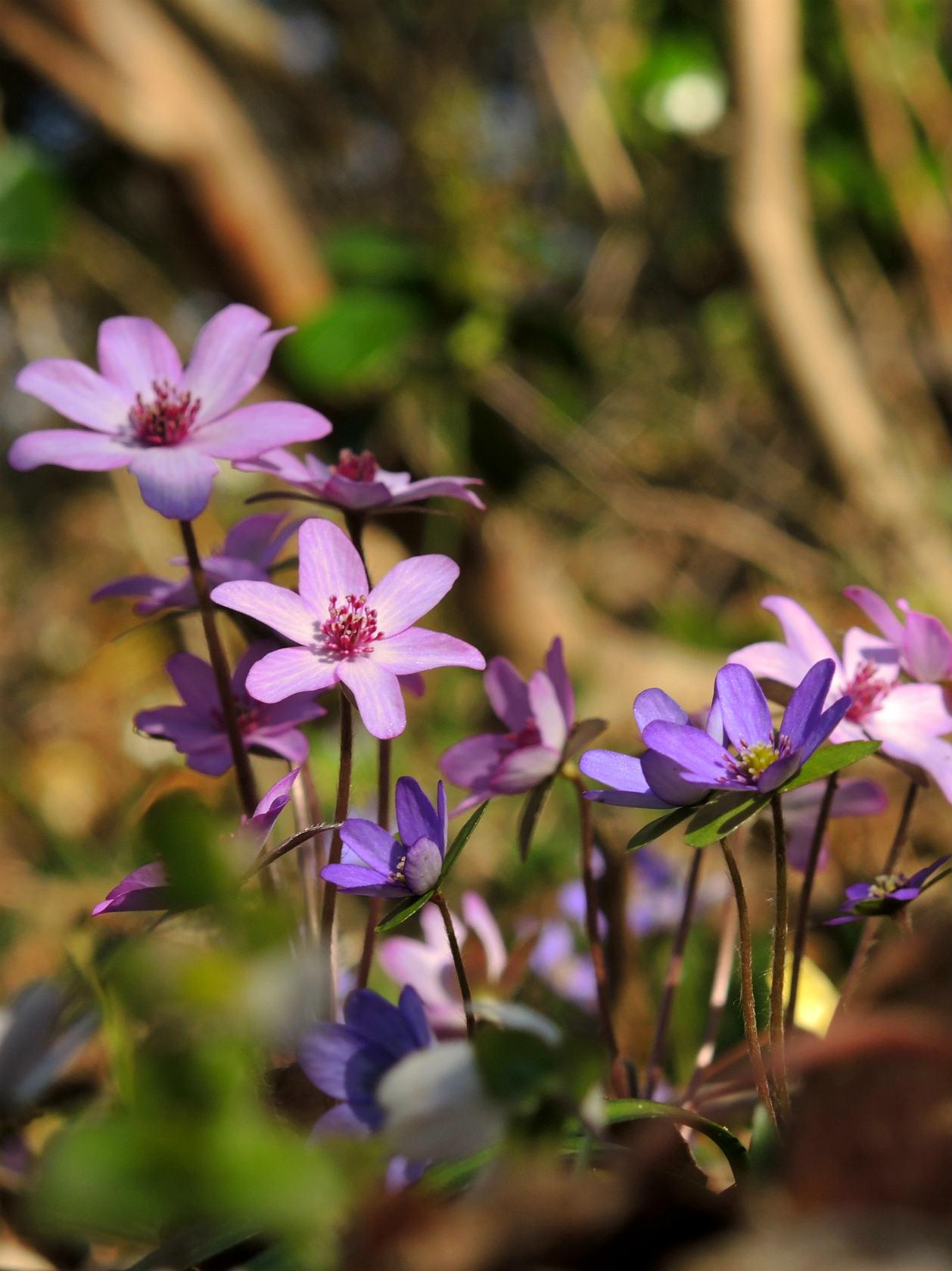 オオミスミソウ 赤紫