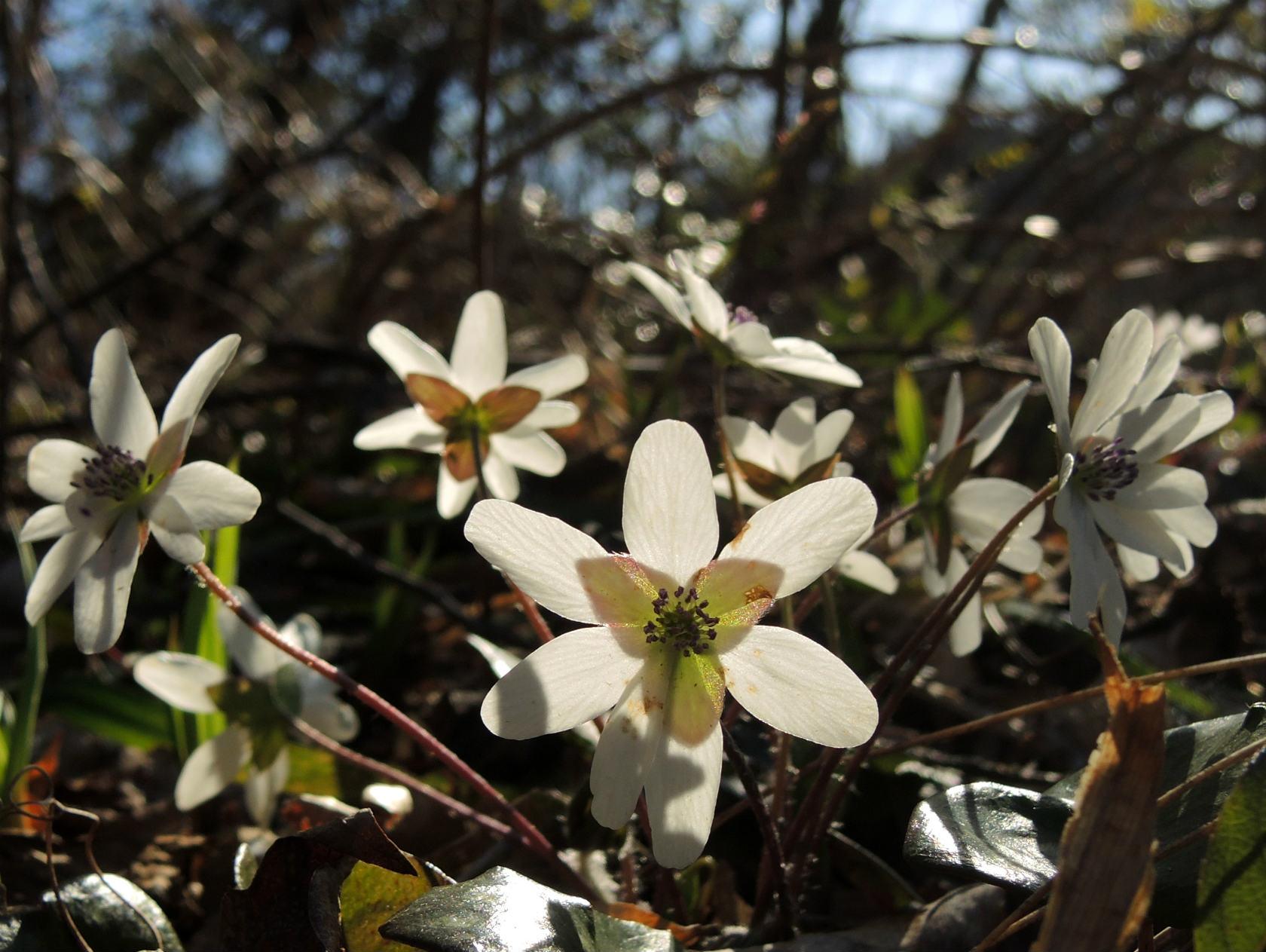 オオミスミソウ 白花 (2)