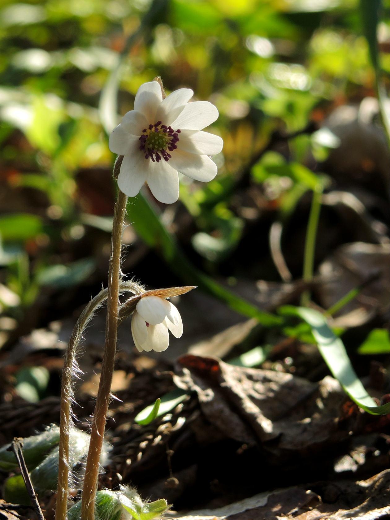 オオミスミソウ 白花