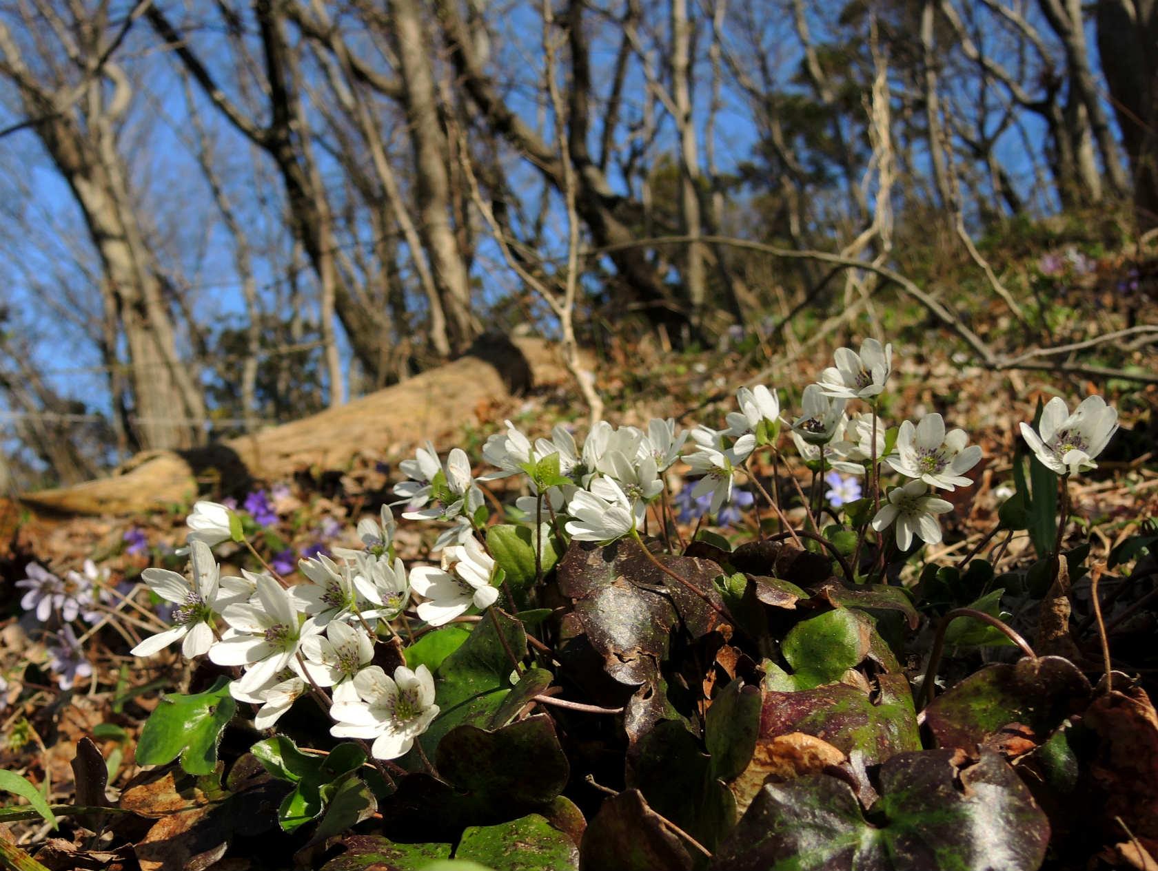 オオミスミソウ 白花の群落