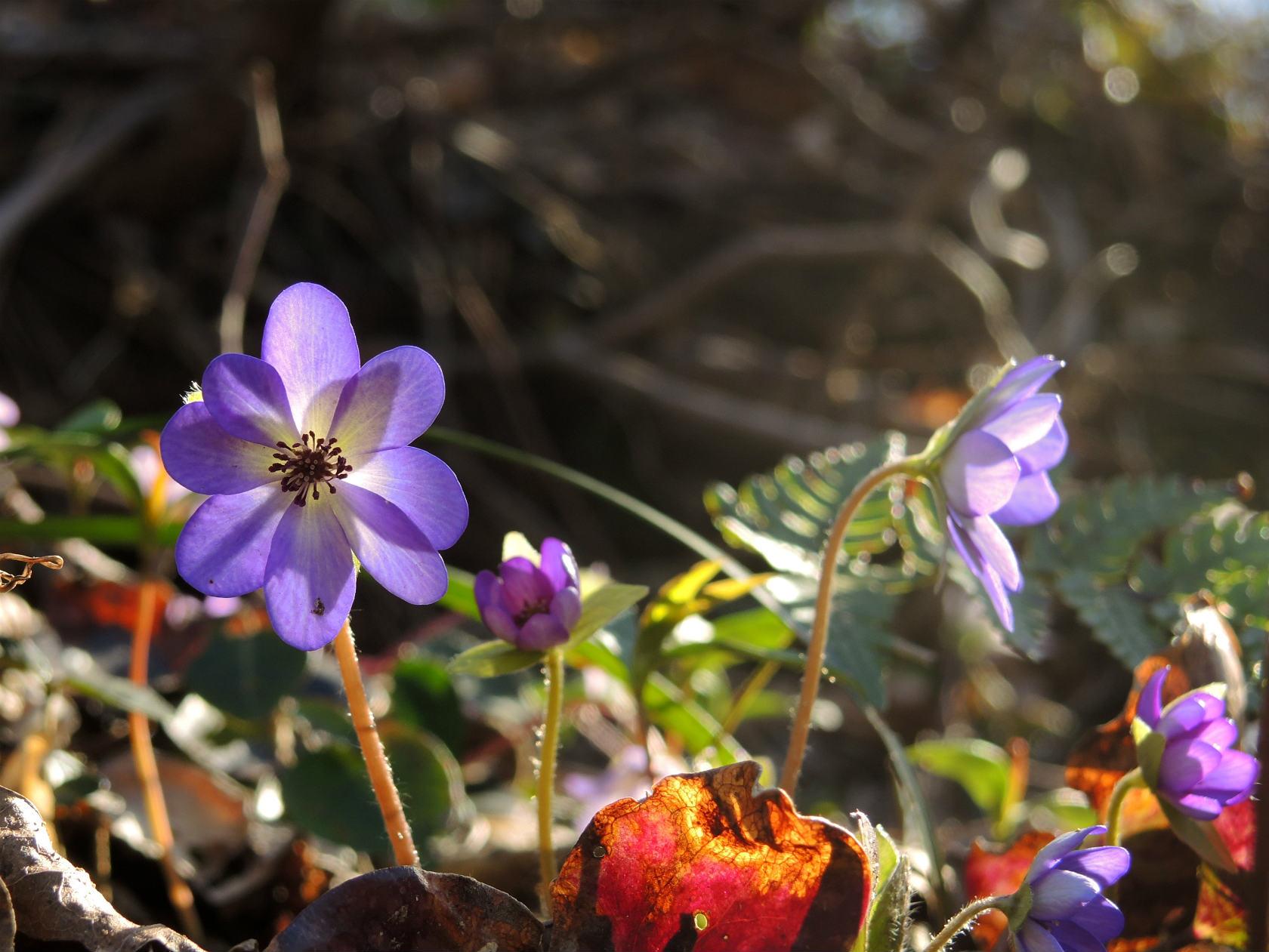 オオミスミソウ 薄紫